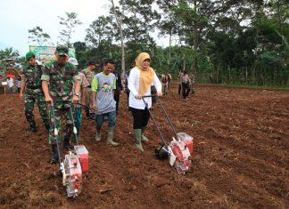 BUPATI Pandeglang, Irna Narulita melakukan Gertam jagung di lahan tidur seluas 14 hektar milik Yonif 320/Badak Putih di Desa Tapos, Kecamatan Cadasari, Kamis (13/07/2017).(Foto : Humas Pemkab Pandeglang)